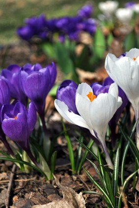 Crocuses, photographed by David Bennett