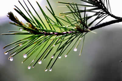 pine needles dripping water